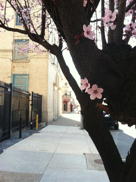 Pink flowers on South 7th St. Philadelphia, PA