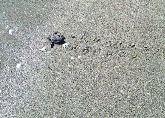 Baby leatherback sea turtle just hatched - Juno Beach, FL
