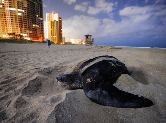 Leatherback Sea Turtle laying eggs on Juno Beach, FL