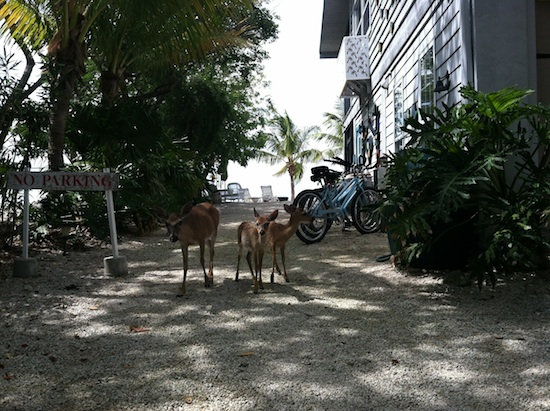 Indigenous Key Deer on Big Pine Key Island, Florida