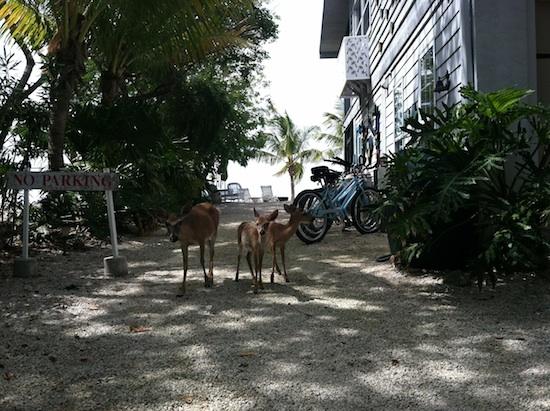 Indigenous Key Deer on Big Pine Key Island, Florida