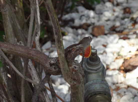 Gecko in Key West, FL