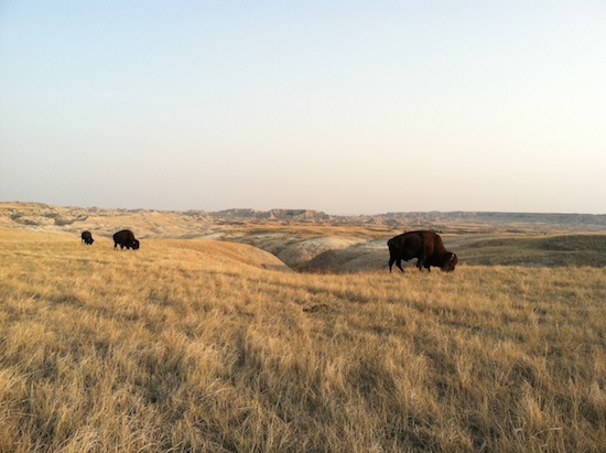 Wild bison - Badlands National Park