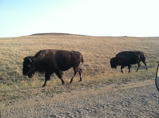 Wild, free roaming bison at Badlands National Park