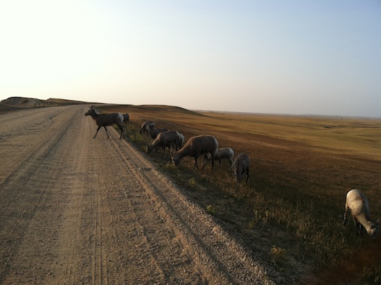 Wild longhorn sheep - Badlands National Park