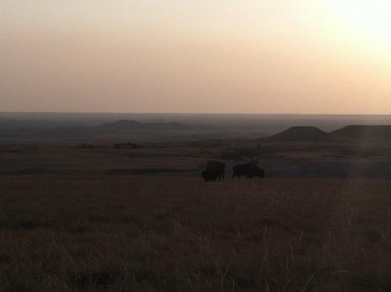 Wild bison - Badlands National Park
