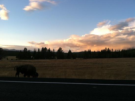 sunset bison