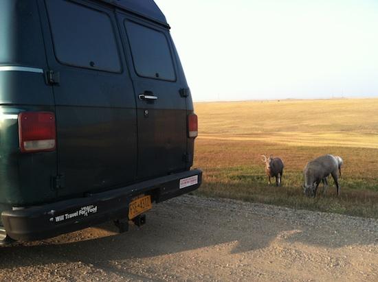 Wild longhorn sheep - Badlands National Park